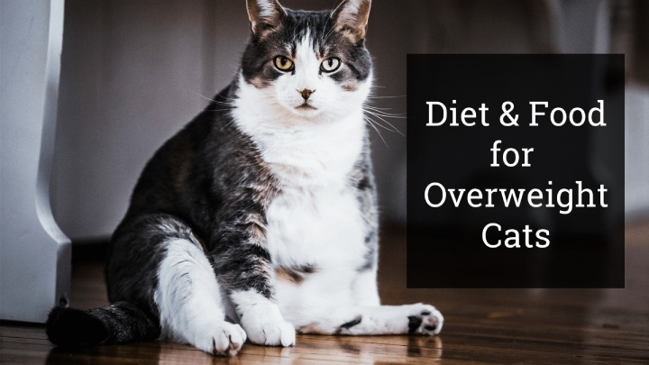 Food for Overweight Cats